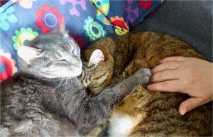 Illustration d'une séance de Jin Shin Jyutsu sur un chat